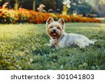 Yorkshire Terrier Dog On The...