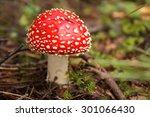 Amanita Muscaria  A Poisonous...
