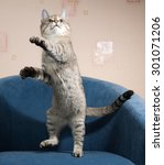 Stock photo striped cat jumping on blue soft chair 301071206