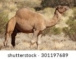 Arabian Camel  Northern...