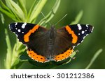 Red Admiral Butterfly Sunning...