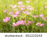 Meadow Pink  Sabatia Campestri...