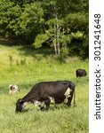 Cattle On Brazilian Pasture