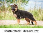 german shepherd puppy  | Shutterstock . vector #301321799