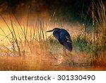 goliath heron  ardea goliath ... | Shutterstock . vector #301330490