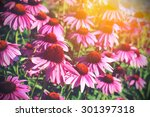 field of echinacea flowers and...   Shutterstock . vector #301397318