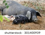 Piglet With Sow