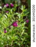 Small photo of Autumn sage (Salvia greggii)