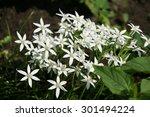 White Night Star Flower Bush I...