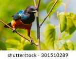 Young Superb Starling On A...