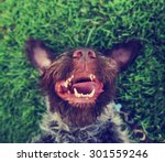 Stock photo  a german wire haired griffon out in nature on his back in the grass with his tongue hanging out of 301559246
