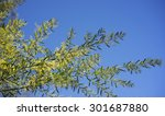 Small photo of Sunny day background Australian yellow golden wattle Acacia fimbriata against blue sky