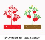 tomato plant with tomato fruit...   Shutterstock .eps vector #301688504