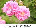 """""""damask Rose"""" Flower  Or Rose..."""