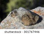 hoary marmot   marmota caligata | Shutterstock . vector #301767446