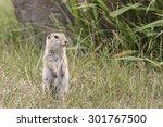 Richardson's Ground Squirrel  ...