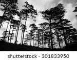 sunset silhouette with fir...   Shutterstock . vector #301833950