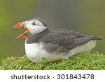 Atlantic Puffin  Fratercula...
