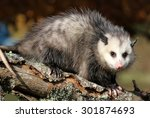 Curious Young Sub Adult Possum...