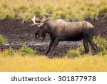 Small photo of Juvenile Western Moose (Alces alces andersoni) at mud pool. Alberta, Canada, North America.