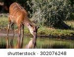 Young Sitatunga Antelope Male...