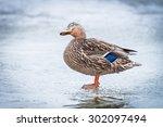 Female Mallard Duck On Ice In...