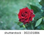 Lovely Single Blooming Red Rose