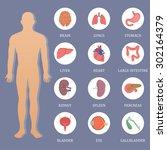 vector human organs flat style...   Shutterstock .eps vector #302164379