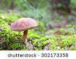 brown cap boletus mushroom in... | Shutterstock . vector #302173358