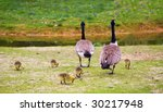 Family Of Canada Geese  Branta...