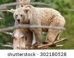 himalayan brown bear looking us ... | Shutterstock . vector #302180528