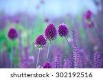 Chive Herb Flowers   Allium...