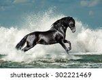 Black Andalusian Stallion Runs...