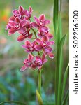 Cymbidium Orchid Flowers With...
