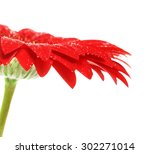 Beautiful Red Gerbera Flower ...
