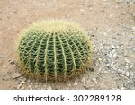 Barrel Cactus Growing In Sand...