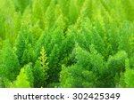 Asparagus Fern Planted A Garde...