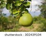 pomelo tree in the garden | Shutterstock . vector #302439104