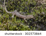 macro image of a gecko on mossy ... | Shutterstock . vector #302573864