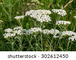 Yarrow Grows On A Meadow In Th...