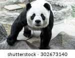 Lovely Panda Standing On The...