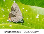 Small photo of Acadian Hairstreak Butterfly perched on a leaf.