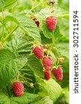 Several Ripe Red  Raspberries...