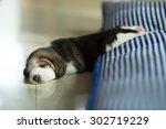 fluffy puppy beagle's taking a... | Shutterstock . vector #302719229