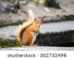 Red Squirrel  Lake District  Uk