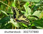 Small photo of Old World swallowtail butterfly (Papilio machaon) resting on the wild amaranth (Amaranthus retroflexus)