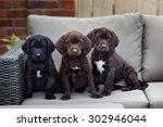 Three Young Labrador Retriever...