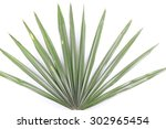 Green Palm Leaves  Livistona...