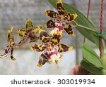 Rare Tiger Orchid In Cameron...