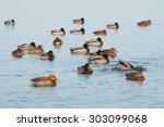 Flock Of Mallards On A Calm...